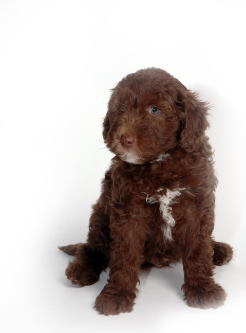 Chocolate boy at 7 weeks